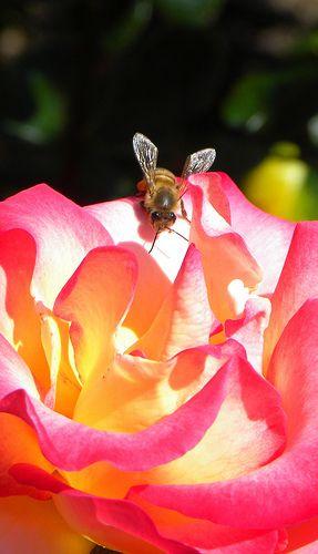 Perfect Rose. #Bienen www.apidaecandles.de