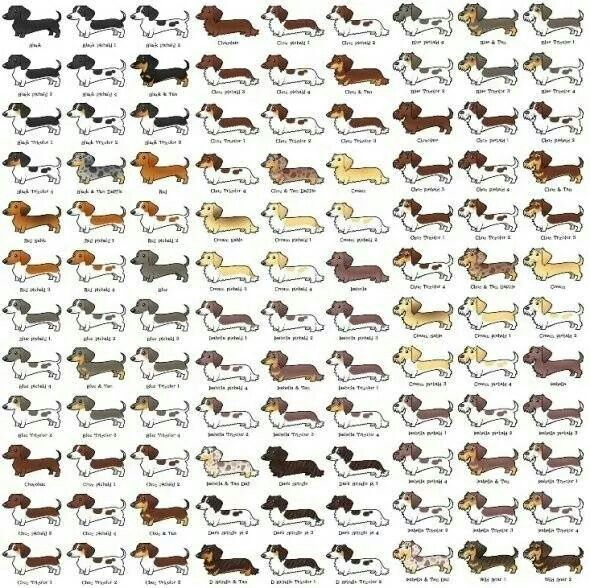 Doxie Color Chart Dachshund Gifts Dachshund Lovers Dachshund