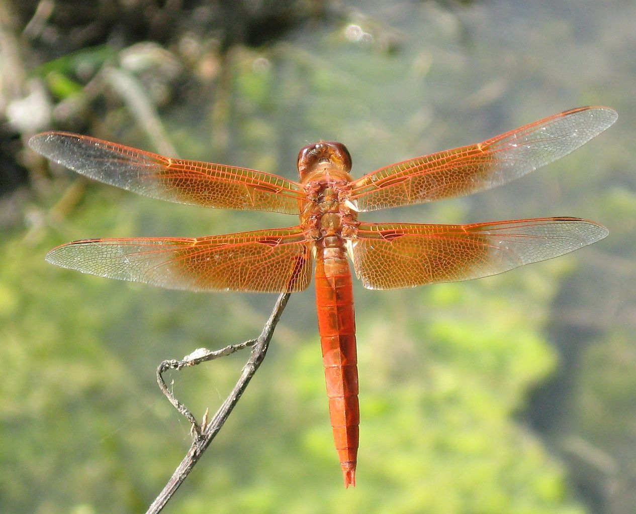 FileDragonfly (2).jpg Wikimedia Commons Dragonfly