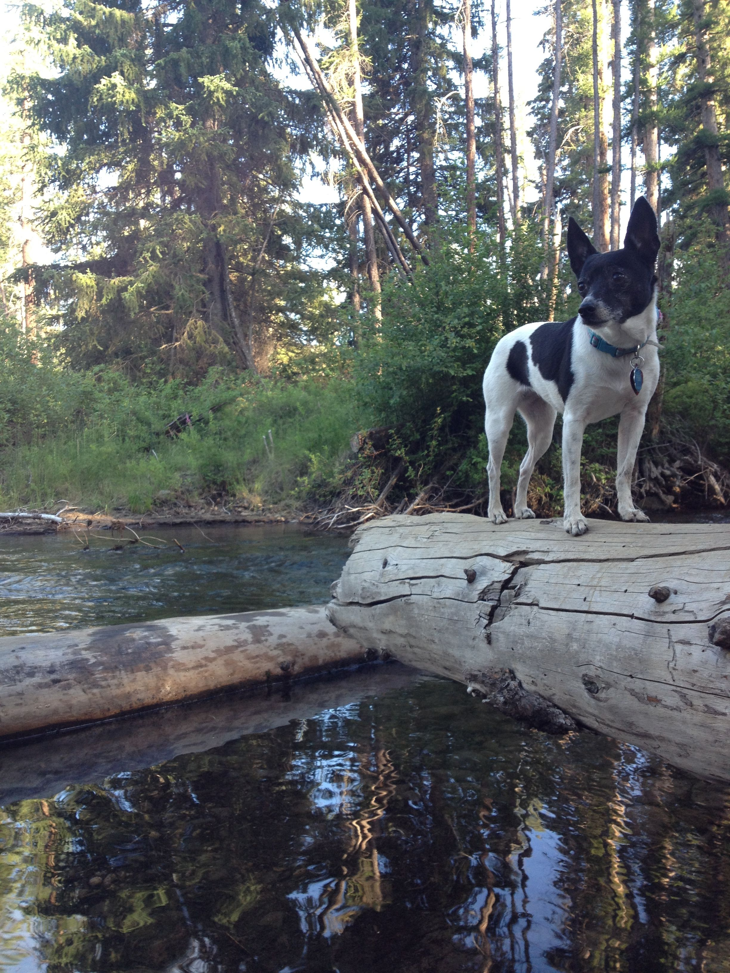 Rat terrier, Ella at Shevlin Park, Bend Oregon. Summer