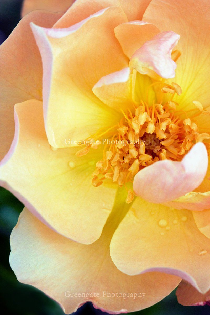 Rose Photo Print Yellow Rose Natural Rose Botanical Art Flower Photography Wall Hanging Fine Art Photo Nature Photo Gifts For Her With Images Flowers Photography Yellow Roses Fine Art Photo