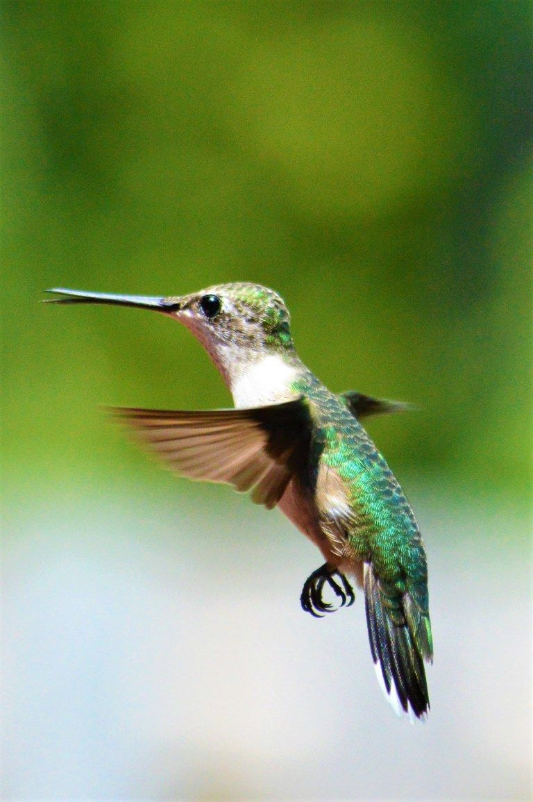 50++ When do hummingbirds come back in spring information