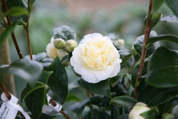Buy camellia Camellia × williamsii 'Jury's Yellow': Delivery by Crocus
