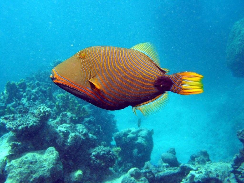 orange lined triggerfish orange striped triggerfish or undulated