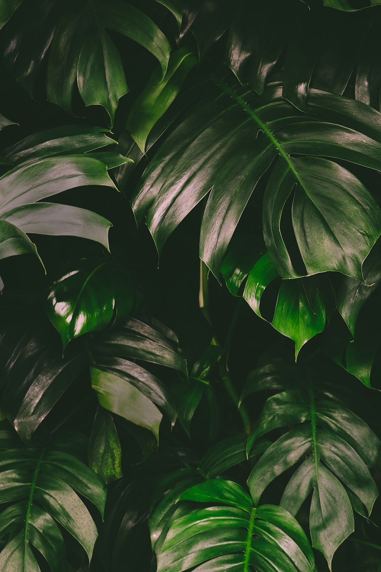 Monstera Leaves Jungle Background by Annakaroline on