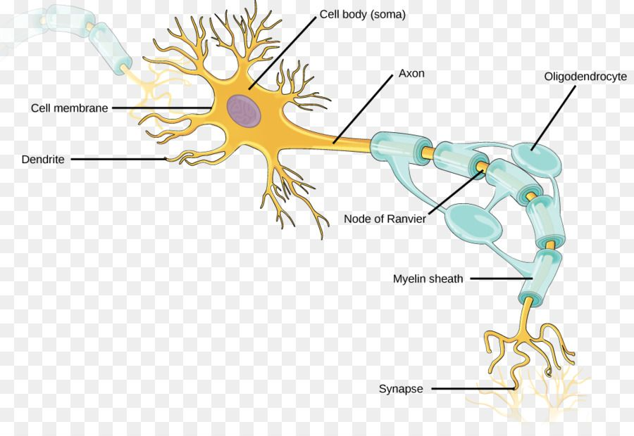 Neuron Axon Nervous System Neuroglia Dendrite Neurons