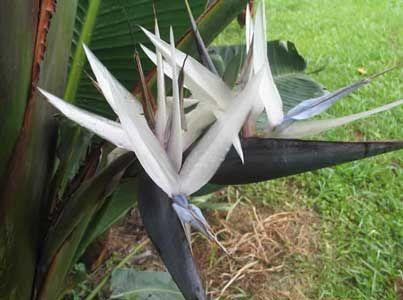 Strelitzia Caudata Bird Of Paradise 6 Seeds Birds Of Paradise Paradise Flowers Rare Birds