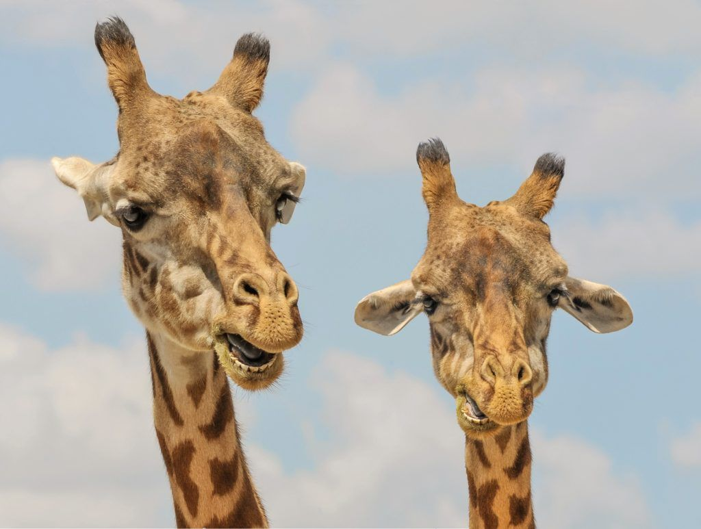 20 Bizarre Facts About Giraffes The Silly Penguin