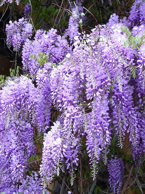 10 Plants That Repel Mosquitoes Wisteria Plant Fragrant Plant Purple Wisteria