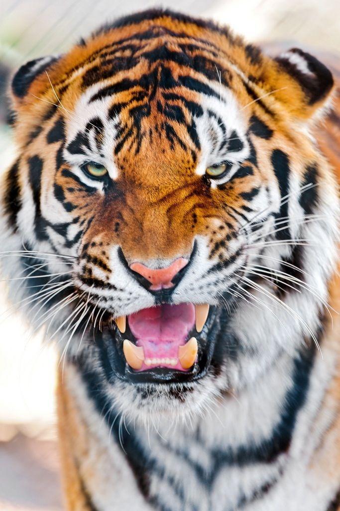 animaux sauvages et libres au ergew hnliche natur katzen tiger und gro e katzen. Black Bedroom Furniture Sets. Home Design Ideas
