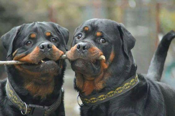 Rottweilers On Big Barker Dog Beds Dogs Rottweiler Rottweiler Dog