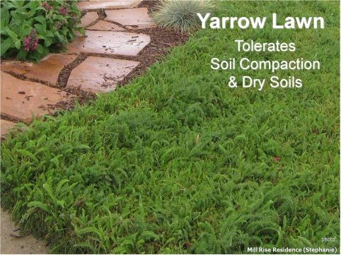 yarrow lawn | Drought Tolerant Curb Appeal | Pinterest | Lawn and ...