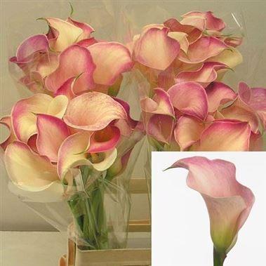 Calla Lilies Wholesale Flowers Uk Wedding Flowers Calla Lily Flowers Uk Pink Calla Lilies