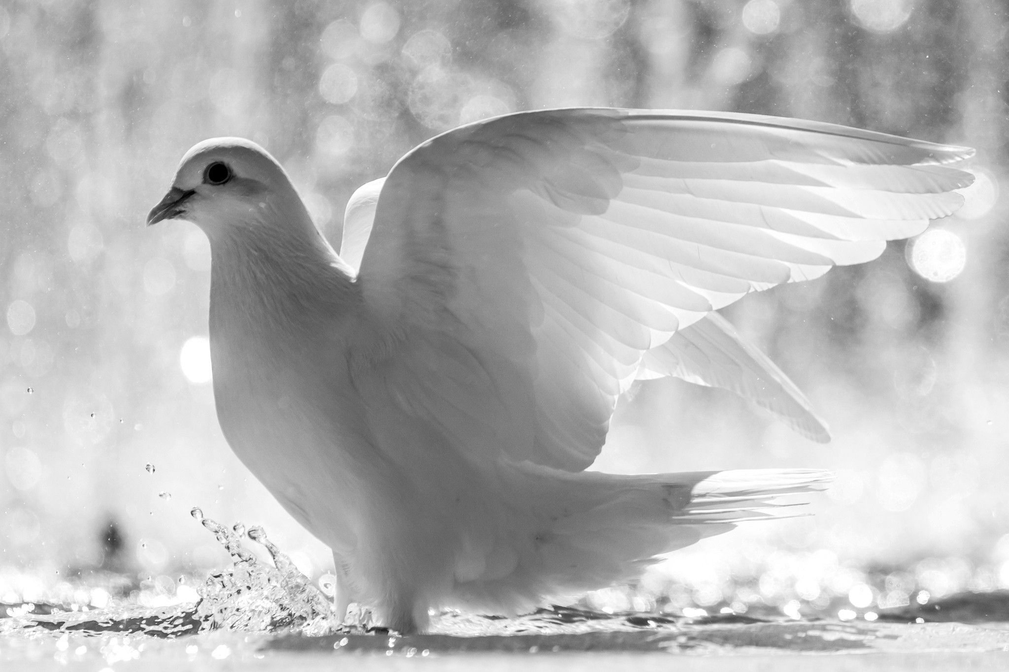 Beautiful White Dove Of Peace Animal Wallpapers Hd Wallpaper Download For Ipad And Iphone Widescreen 2160p Uhd 4k Hd White Pigeon Dove Pictures White Doves