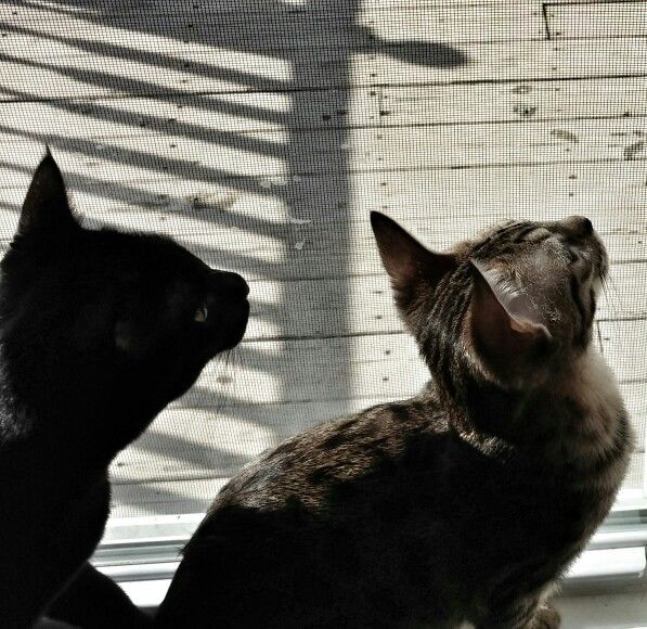 Bella Our F4 Savannah With Binx Our F2 Black Bengal Both 6 Months