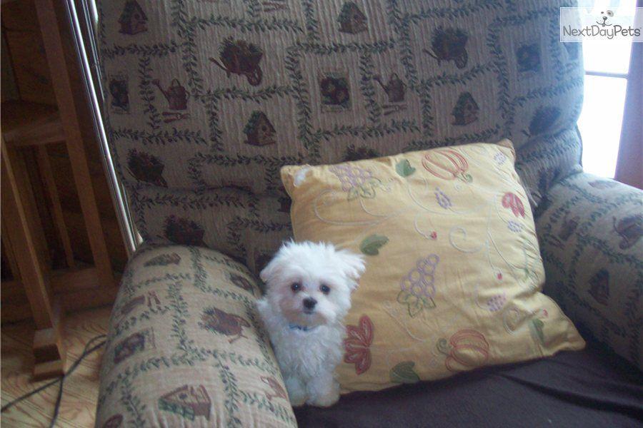 Maltese puppy for sale near Pittsburgh, Pennsylvania