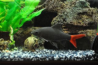 Red Tail Shark Red Tailed Black Shark The Care Feeding And