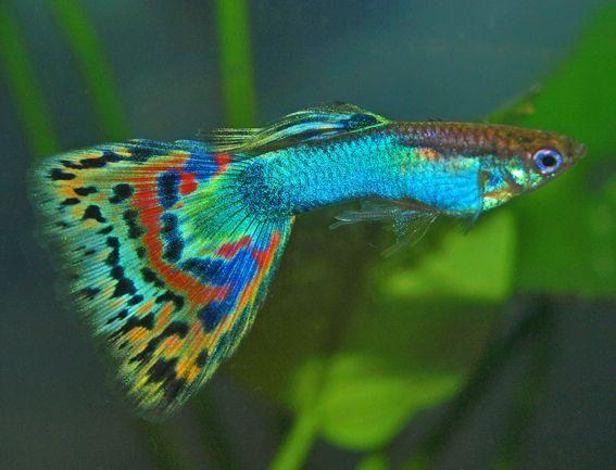 Mosaic Guppy | Mosaic Guppy Fish Pinterest Acuario Peces De Acuario Y Agua Dulce