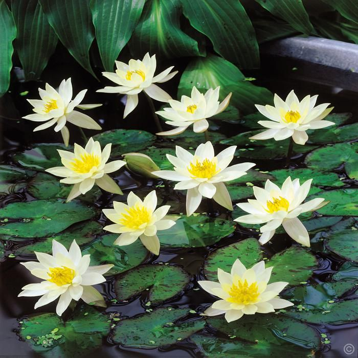 Nymphaea Pygmaea Helvola Waterlelie 1 Plant Kopen Veilig Online Bestellen Plants Pond Plants September Flowers