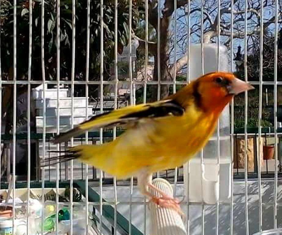 Super Chardonneret Agate jaune de Pyrrhula Pyrrhula