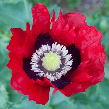 Poppy 'Cherry Glow' Papaver somniferum seeds, Papaver
