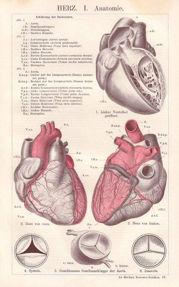 Human heart original 1922 anatomy print by PaperThesaurus on Etsy ...