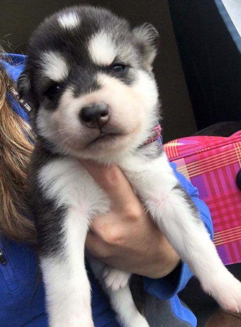 Meet Kira, a cute Alaskan Malamute and Siberian Husky mix ...