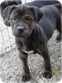 Pitbull Mix With Rottweiler Google Search Puppy Pinterest