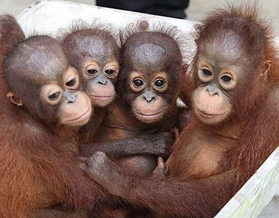Baby Orangutans Enjoy The Early Years With Mom Baby