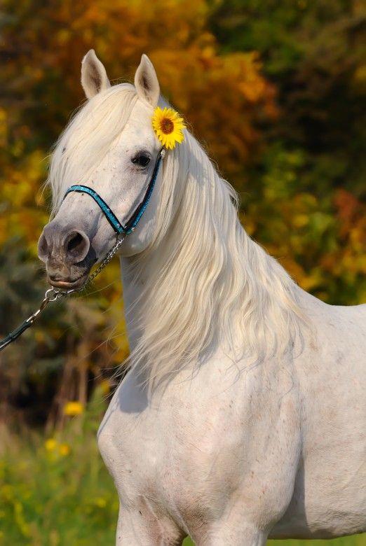 Pin By Melissa Nicola Thome On Books Worth Reading White Arabian Horse Horses Cute Horses