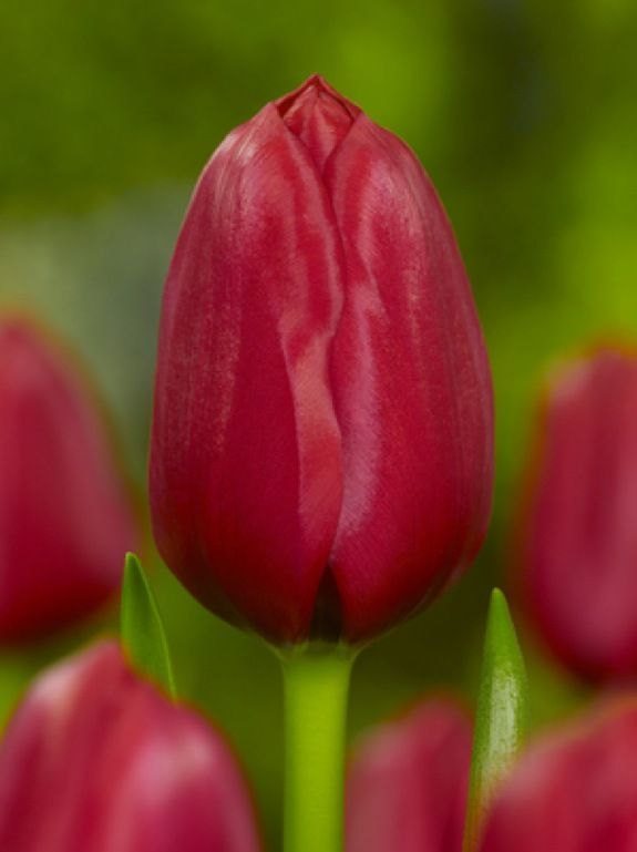 tulipe unique de france