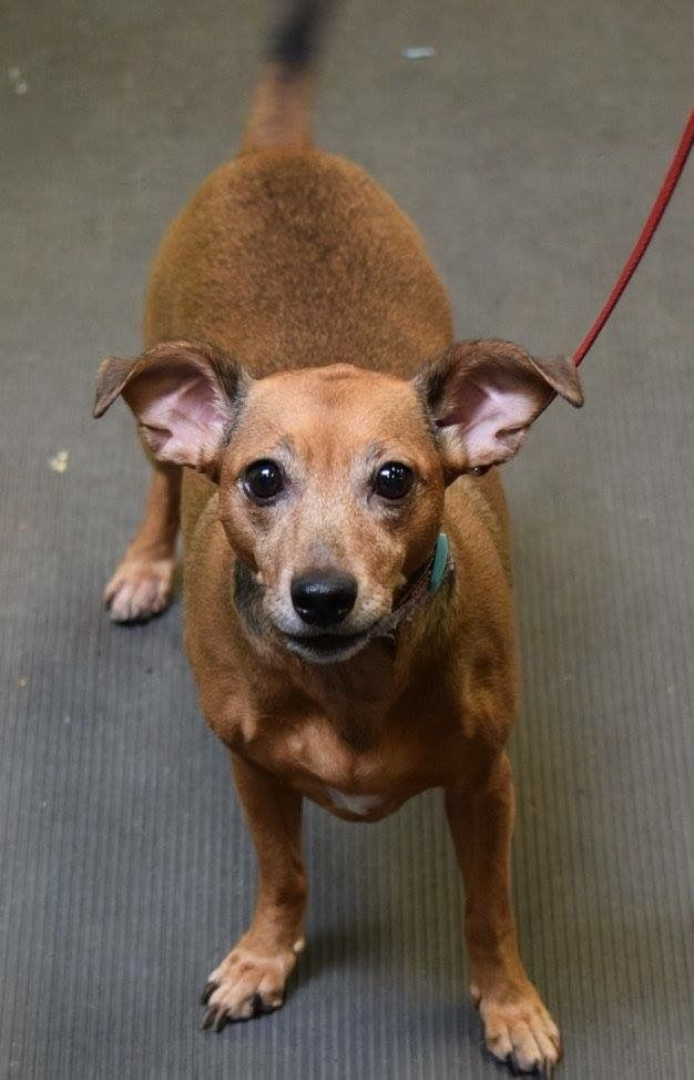 Adopt Penny on Rescue Dogs Dachshund mix, Adoption, Dogs