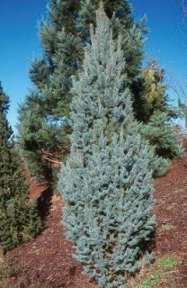 Sester Farms Fastigiata Spruce Latin Name: Picea pungens 'Fastigiata'  Wholesale Tree Nursery