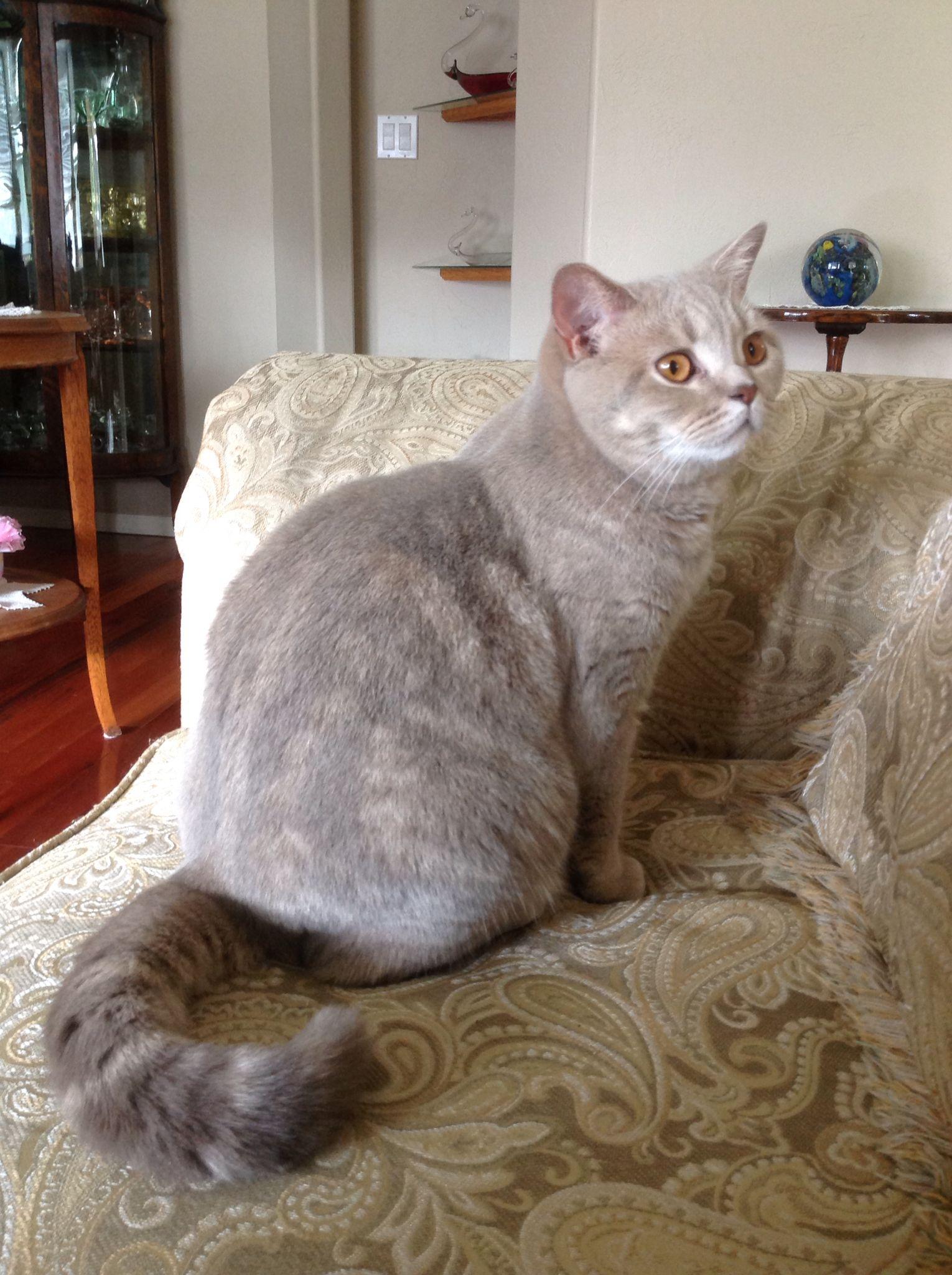 Miss Mimi Is So Pretty Lilac Classic Tabby British Shorthair Silver Tabby Cat British Shorthair Cat Colors