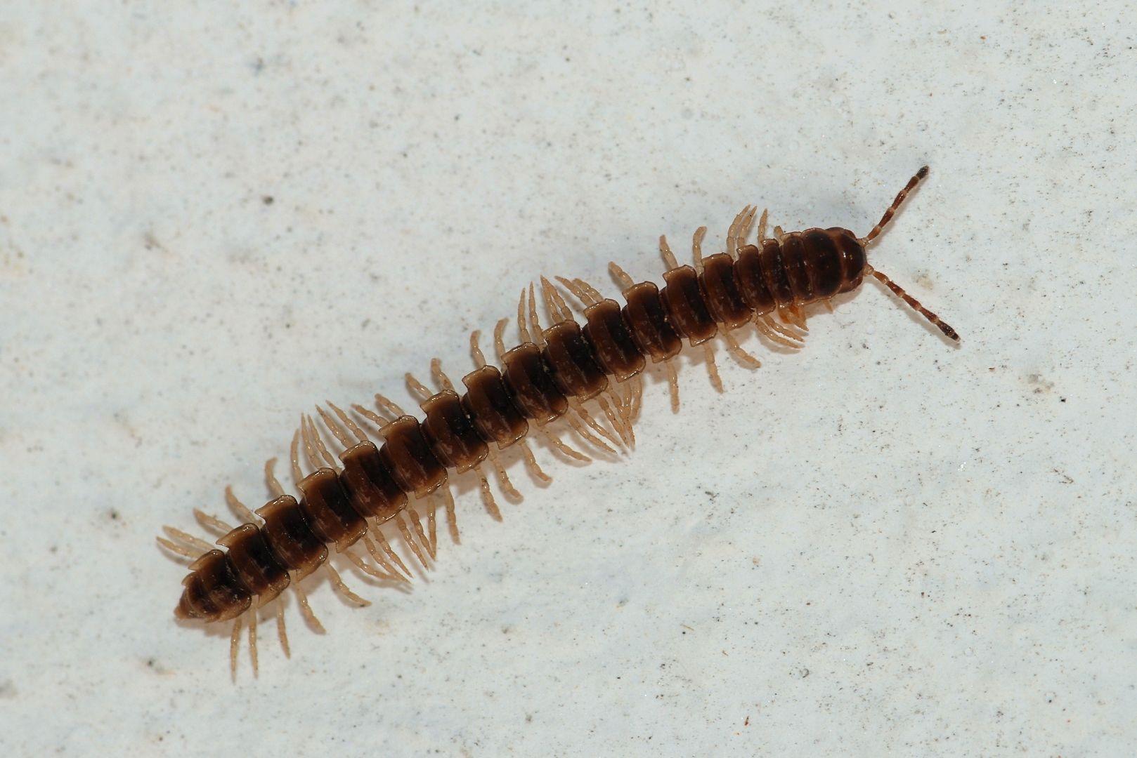 Millipede Centipede, Amber fossils, Millipede