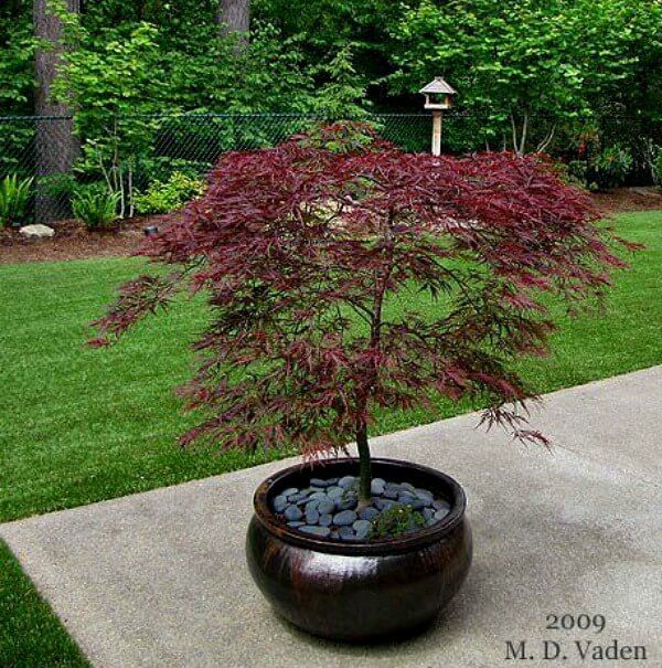 Growing Japanese Maples In Containers · Cozy Little House