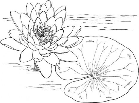 Nymphaea Mexicana Or Yellow Water Lily Water Lily Drawing Lilies Drawing Coloring Pages