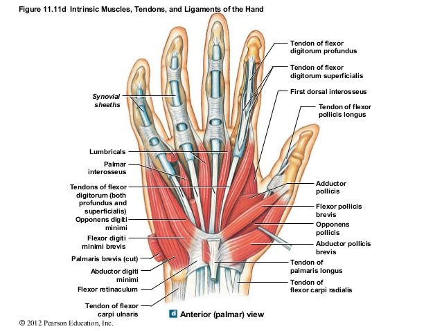 palmar hand muscle anatomy diagram electrolux wiring refrigerator figure 11 11d intrinsic muscles tendons and ligaments of the synovial sheaths lumbricals interosseus t