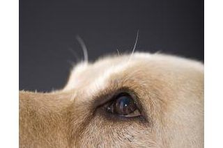 Homemade Eye Wash for Dogs | Bully Love | Dogs, Calming