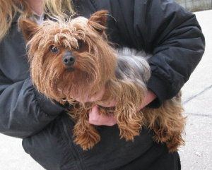 I Found Augie On Silky Terrier Terrier Dogs How To Look Pretty