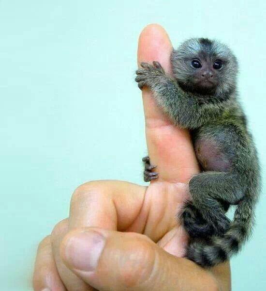 Little sweet monkey