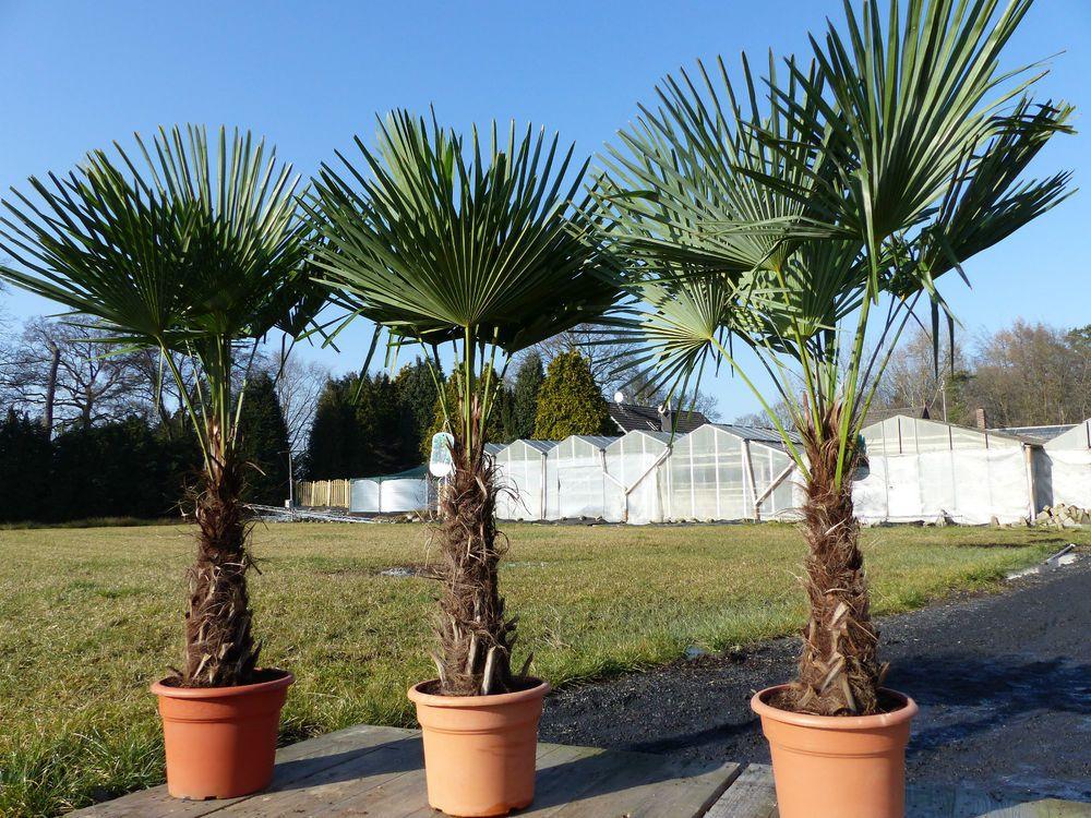 360 Cm Hanfpalme Trachycarpus Fortunei Freilandpalme Winterhart Bis Ca 19 C Ebay Palmen Garten Hanfpalme Garten Pflanzen