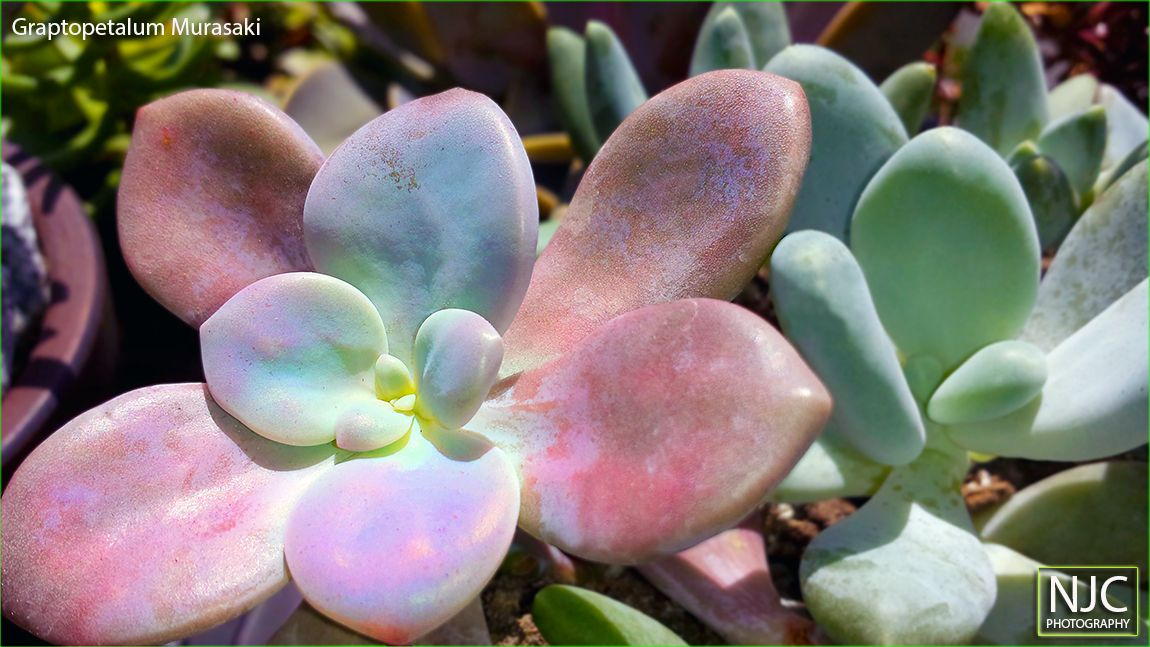 Graptopetalum Murasaki. Grown in full sun the coloration on this plant is quite dramatic.