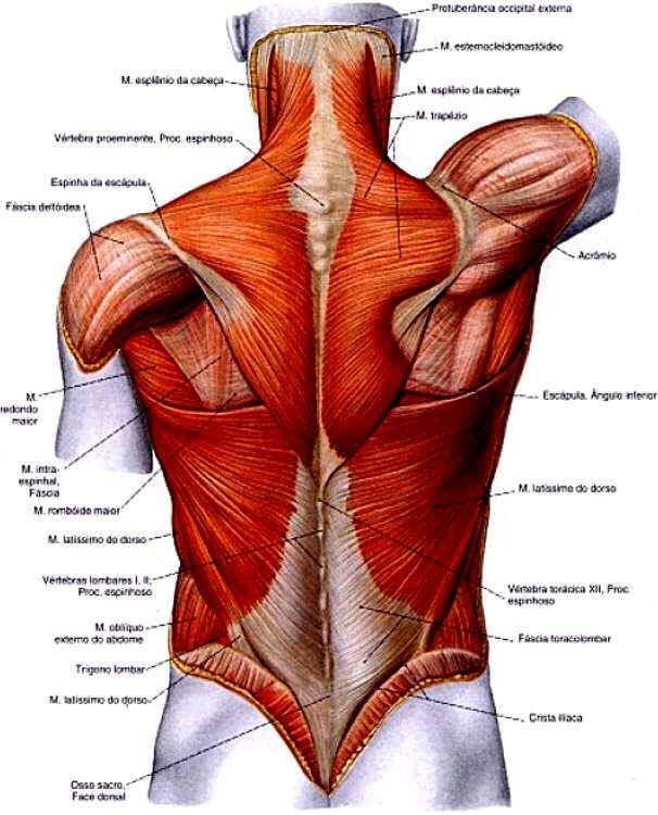 Para Lower Back Muscles Diagram Block And Schematic Diagrams