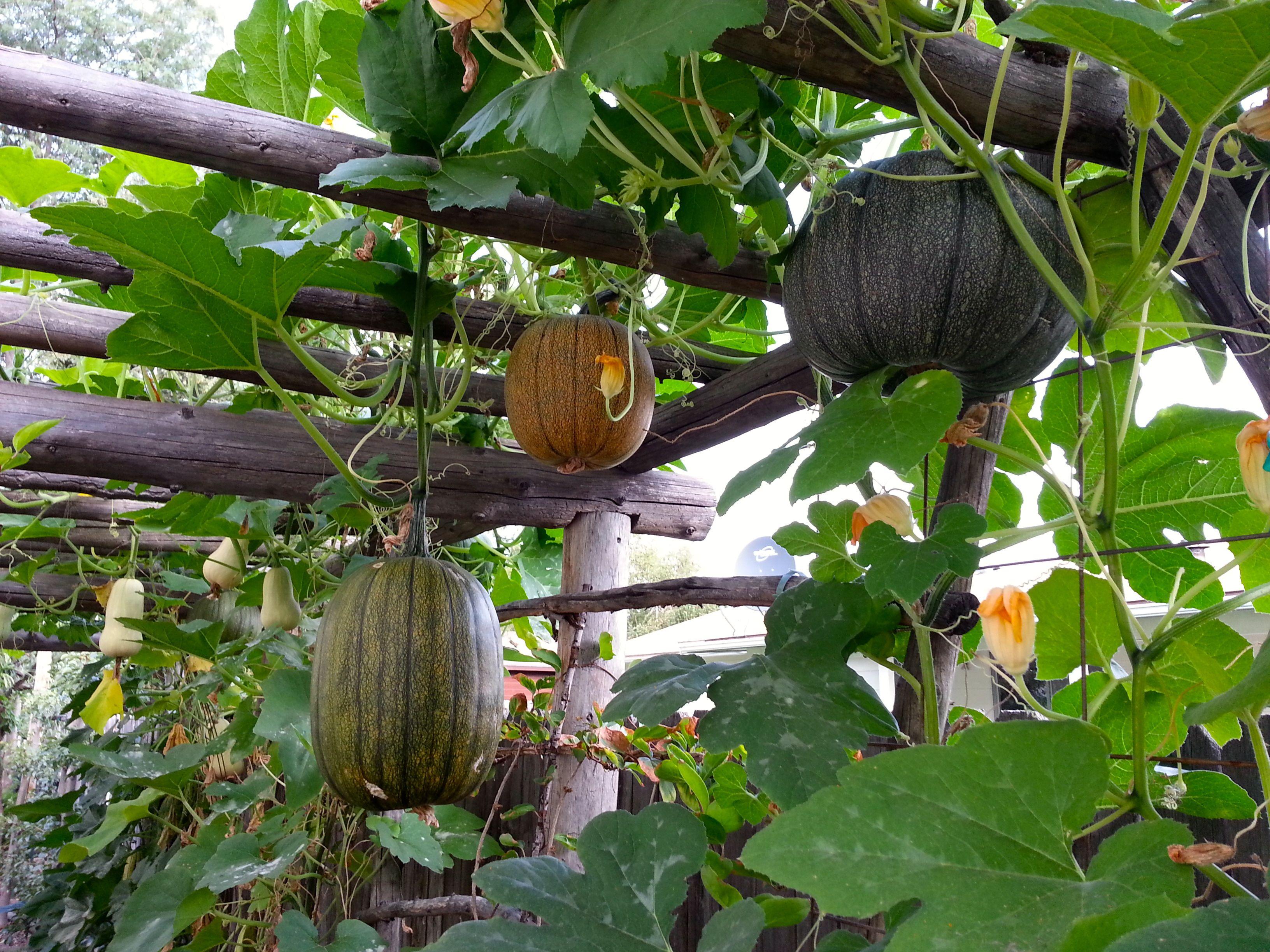 идеи посадки тыквы декоративной фото дерева