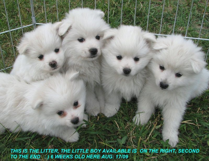 Toy Miniature American Eskimo Puppies Dogs Pictures Information