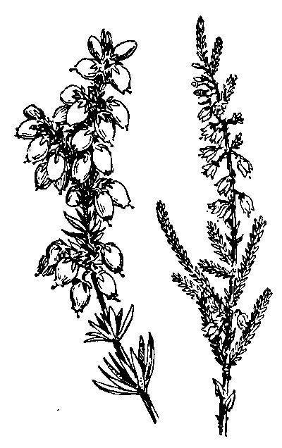 3eed7e81f3b5704923ebe351b5f236d1 Jpg 400 636 Heather Flower Heather Plant Lavender Tattoo