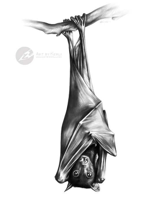 Upside Down Fruit Bat Graphite Pencil Drawing By Kerli Toode