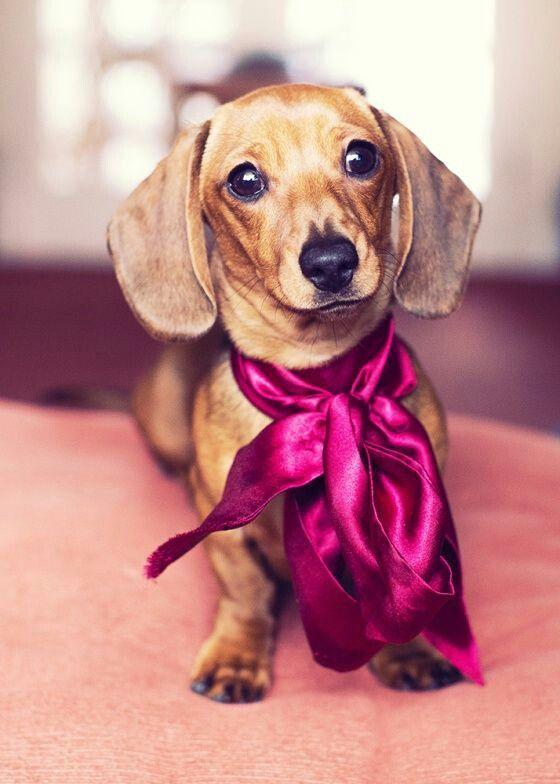 Doxin Puppys Cute Animals Dachshund Love Weenie Dogs