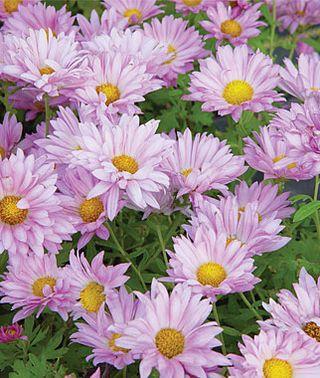 Garden Mum Mammoth Daisy Lavender Chrysanthemums At Burpee Com Garden Mum Flowers Perennials Potted Mums